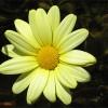 Margarita argyranthemum